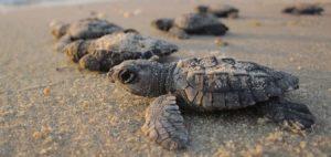 velas turtle festival mumbai pune adventures